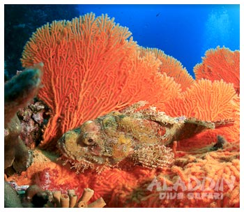 stonefish in orange fan