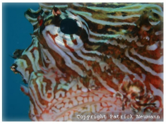 dt lionfish close up